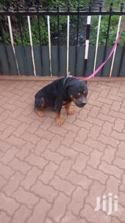 Male Rotweiller | Dogs & Puppies for sale in Nairobi, Karen