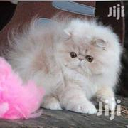 Pure Persian,Himalayan Cats | Cats & Kittens for sale in Nairobi, Kitisuru