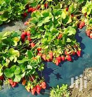 Strawberry Seedlings | Feeds, Supplements & Seeds for sale in Nairobi, Nairobi Central