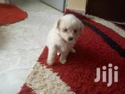 CHIWAWA Dog | Dogs & Puppies for sale in Nairobi, Kilimani
