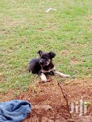 Gsd Puppies for Sale at a Fair Price | Dogs & Puppies for sale in Nairobi, Nairobi Central