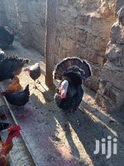 Turkeys Kienyeji | Birds for sale in Nairobi, Mihango