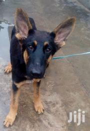 Young GSD For Sale | Dogs & Puppies for sale in Mombasa, Port Reitz
