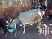 Healthy Dairy Goats   Livestock & Poultry for sale in Kirinyaga, Baragwi