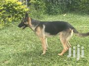 Male GSD for Sale | Dogs & Puppies for sale in Kakamega, Mumias Central