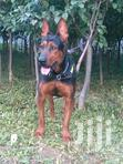 Dog Selling All Breeds.Males And Females | Dogs & Puppies for sale in Kangemi, Nairobi, Nigeria