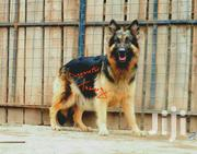 Long Coat Female German Shepherd | Dogs & Puppies for sale in Nakuru, Bahati