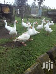Mature Geese | Livestock & Poultry for sale in Nairobi, Karen