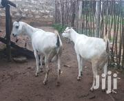 White Savannah /Sanen Goats Huge Breed 25000 Each Negotiable | Livestock & Poultry for sale in Kilifi, Malindi Town