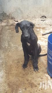Great Dane Offer | Dogs & Puppies for sale in Nairobi, Nairobi Central