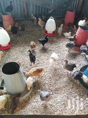 Livestock & Poultry in Nairobi for sale ▷ Prices on Jiji co ke