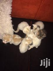 Adorable Kittens | Cats & Kittens for sale in Nairobi, Kahawa