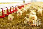 Improved Kienyeji Chicks - Fully Vaccinated | Livestock & Poultry for sale in Nairobi, Ruai