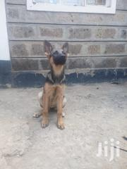 German Sherperd For Sale Nairobi | Dogs & Puppies for sale in Murang'a, Township G