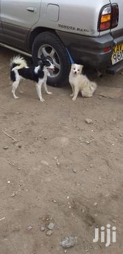 Japanese Spitz For Sale Nairobi | Dogs & Puppies for sale in Murang'a, Township G