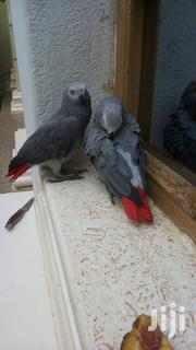 Young Parrot Six Months | Birds for sale in Kiambu, Ndenderu