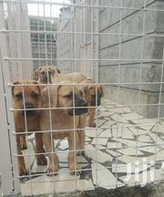 Awesome Boerboel Puppies | Dogs & Puppies for sale in Machakos, Athi River