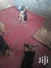 German Shepherd Puppies | Dogs & Puppies for sale in Nairobi, Ruai