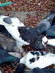 Am Selling All Types Of Pigeons From Local | Birds for sale in Umoja II, Nairobi, Nigeria