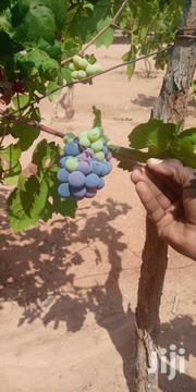 Quality Grape Seedlings For Sale | Feeds, Supplements & Seeds for sale in Kiambu, Riabai