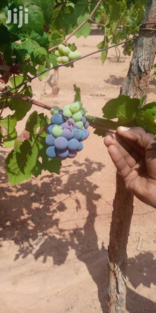 Archive: Quality Grape Seedlings For Sale