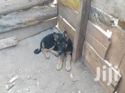 German Shepherd Puppies For Sale | Dogs & Puppies for sale in Nairobi, Njiru