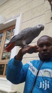 Parrot Trainer | Birds for sale in Kiambu, Ndenderu