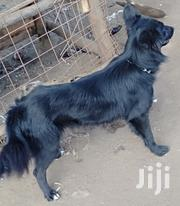 Dog Japanese Spitz, Along Thika Rd- Ruiru Bypass | Dogs & Puppies for sale in Nairobi, Nairobi Central