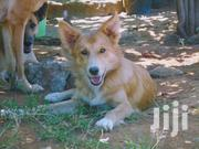 German Shepherd - Spitz for Rehoming | Dogs & Puppies for sale in Kajiado, Ongata Rongai