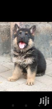 Gsd Dog High Grade | Dogs & Puppies for sale in Machakos, Kathiani Central