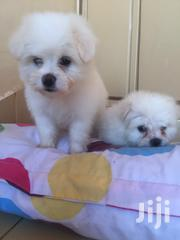 Maltese Puppies for Sale | Dogs & Puppies for sale in Nairobi, Kahawa