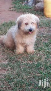 Pure Maltese for Mating | Dogs & Puppies for sale in Nairobi, Nairobi Central