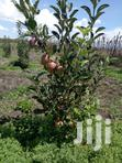 Red Giant Apple Seedlings For Sale | Feeds, Supplements & Seeds for sale in Riabai, Kiambu, Nigeria