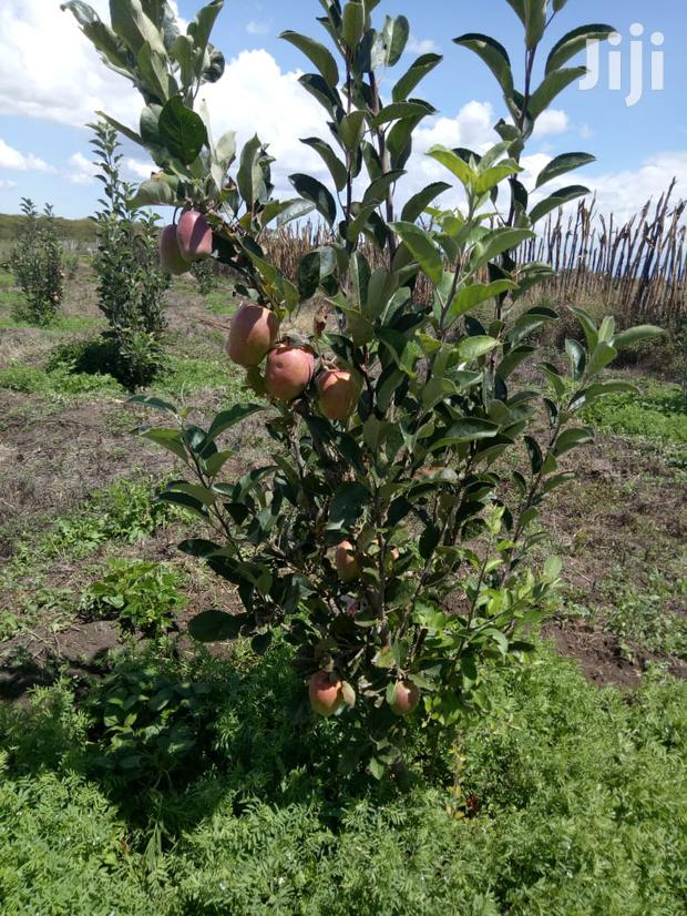Archive: Red Giant Apple Seedlings For Sale
