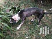 Great Den With Blue Eyes | Dogs & Puppies for sale in Nairobi, Kileleshwa