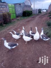 Goose Birds. | Birds for sale in Nakuru, Gilgil