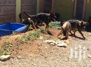 3.5months Old Dark Sable Puppies | Dogs & Puppies for sale in Kiambu, Juja