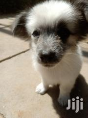 Japanese Spitz and Maltese Mix Puppies(Fully Vaccinated Plus Dewormed) | Dogs & Puppies for sale in Nairobi, Karen