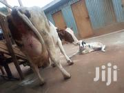 Dairy Cattle For Sale | Livestock & Poultry for sale in Kiambu, Githunguri