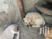 Pure Breed of BOERBOEL | Dogs & Puppies for sale in Nairobi, Nairobi Central