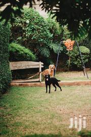 Labrador Retriever Looking for a New Home | Dogs & Puppies for sale in Nairobi, Mountain View