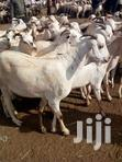 Wholesale Lifestock Goats Cow Camel | Other Animals for sale in Nairobi Central, Nairobi, Nigeria