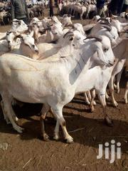 Wholesale Lifestock Goats Cow Camel | Other Animals for sale in Nairobi, Nairobi Central