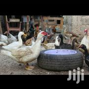 Ducks Farming | Livestock & Poultry for sale in Nairobi, Dandora Area III