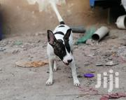 Cross Pitbull | Dogs & Puppies for sale in Mombasa, Kipevu