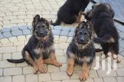 GSD Puppies | Dogs & Puppies for sale in Kiambu, Chania