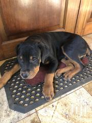 Rottweiler Pure Breed | Dogs & Puppies for sale in Nairobi, Nairobi Central