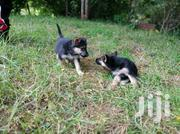 Germanshephard | Dogs & Puppies for sale in Bungoma, Siboti