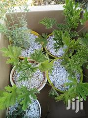 Potted Herbs   Feeds, Supplements & Seeds for sale in Nairobi, Kileleshwa