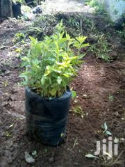 K,Apple Fencing Plant | Feeds, Supplements & Seeds for sale in Uasin Gishu, Kapsoya